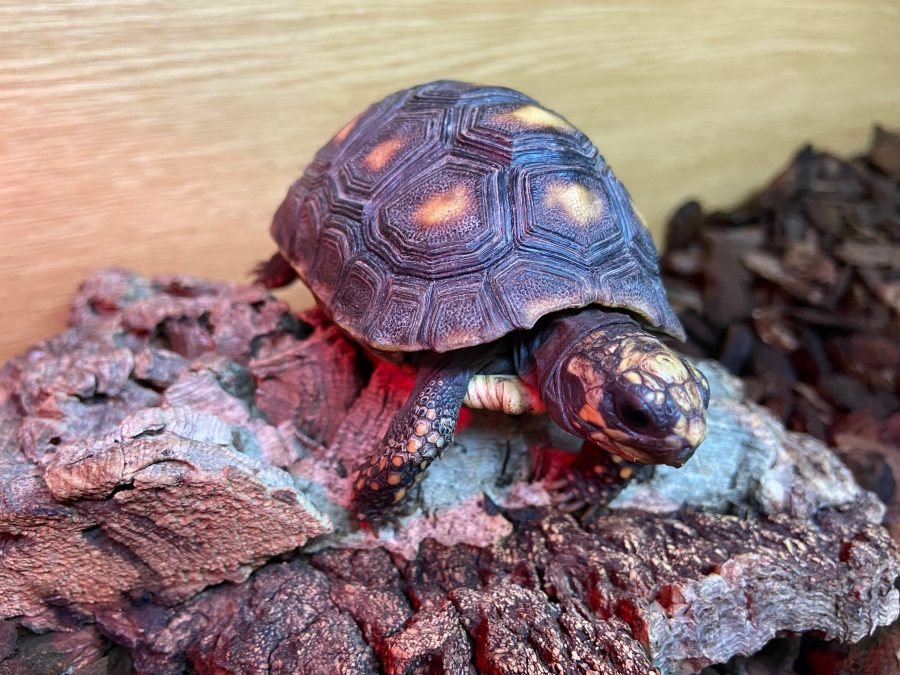 Redfooted Tortoise